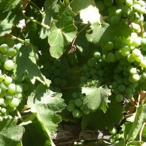 Roblar Winery Grapes Wine Tasting Santa Ynez California
